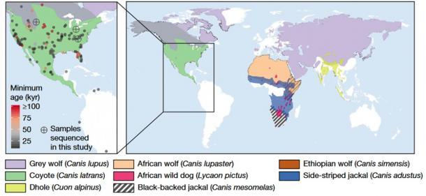 Izquierda: Mapa que representa la distribución de sitios en las Américas donde se han identificado restos de lobos huargos. Los círculos de colores representan las ubicaciones y edades aproximadas de los restos, con círculos cruzados que representan las cinco muestras que produjeron suficiente ADN para reconstruir tanto los genomas mitocondriales como las secuencias del genoma nuclear de baja cobertura. Derecha: Mapa de la distribución geográfica de las especies de cánidos investigadas en este estudio. (Perri, AR et al./ Nature)