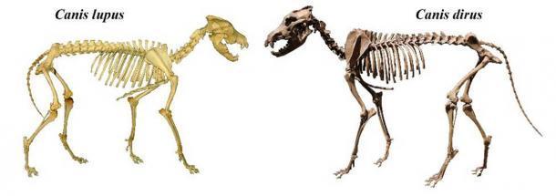 Esqueletos de gris (Canis lupus) y lobo terrible (Canis dirus). (Mariomassone y Momotarou2012 / CC BY-SA 3.0)
