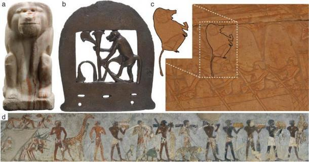 Iconografía egipcia de Papio hamadryas, una tradición que supera los 3000 años. (a) Estatuilla con el nombre del rey Narmer, período dinástico temprano, I dinastía, ca. 3150–3100 a.C. (b) Cabeza de hacha de bronce, Reino Medio, XII o XIII dinastía, ca. 1981-1640 a.C. (c) Relieves en el templo mortuorio de la reina Hatshepsut [Deir el-Bahari]. Un babuino hamadryas se sienta en el aparejo de un barco. Es uno de los cinco que se importan de Punt; Nuevo Reino, XVIII Dinastía, ca. 1473-1458 a.C. (d) Pintura mural en la capilla mortuoria de Rekhmire (TT 100), Visir de Tutmosis III y Amenhotep II. Un babuino (P. hamadryas) se muestra como tributo en una procesión de Nubia. Nuevo Reino, XVIII Dinastía, ca. 1479-1425 a.C. (Dominy et al. 2020 / eLife)