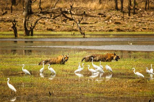 Tigres indios en el lago en el Parque Nacional Ranthambore. (Zahirabbaswikiindia / CC BY-SA 4.0)