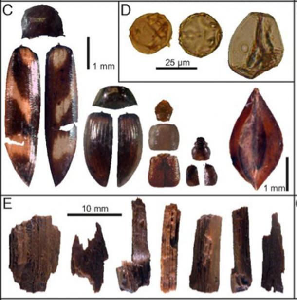 C) Insectos y semillas (de izquierda a derecha): Eanus macullipennis, S. metallica, A. quadrata, Pycnoglypta sp. Y semilla de muelle (cf. R. aquaticus). (D) Polen (de izquierda a derecha): H. lupulus-type, Juglans y cereal-type. (E) Debitage de madera. (Paul M. Ledger, Linus Girdland-Flink, and Véronique Forbes)