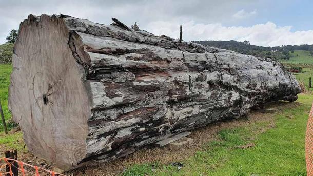 Un antiguo tronco de árbol kauri (Agathis australis) de Ngawha, Nueva Zelanda, que se utilizó como evidencia principal en el reciente estudio científico de cambio de polos. (Nelson Parker)