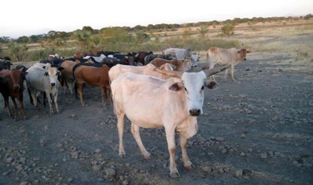Las grandes manadas de ganado pastan cerca del lago Manyara en Tanzania, donde han sido una parte clave de la economía durante 3.000 años. Mary Prendergast, CC BY-ND (La conversación)