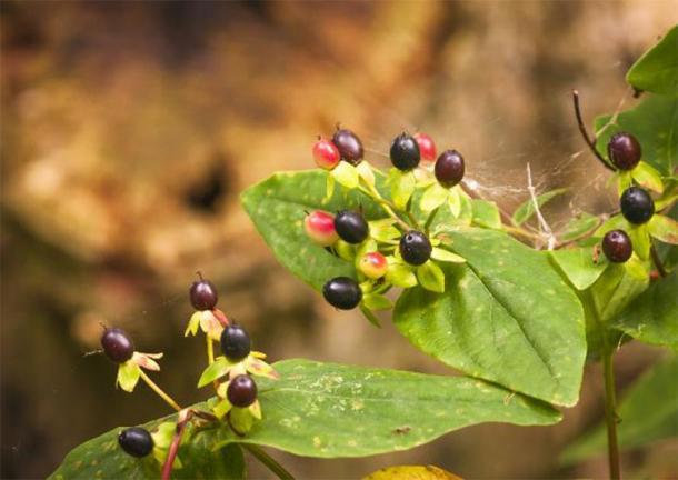 Hojas y bayas de la planta mortal belladona. (espy3008 / Adobe Stock)