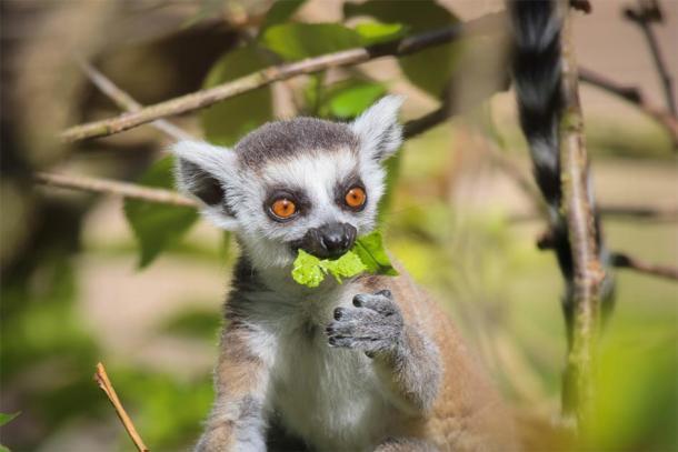 Un lémur en Madagascar. (guinevra / Adobe stock)