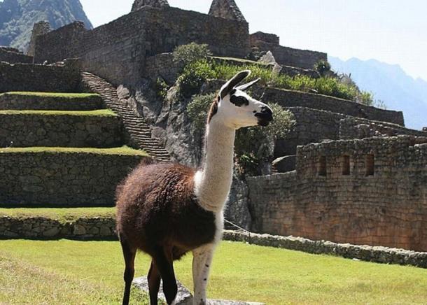 Las llamas jugaron un papel importante en las economías de Moche e Inca. (Pixabay License)
