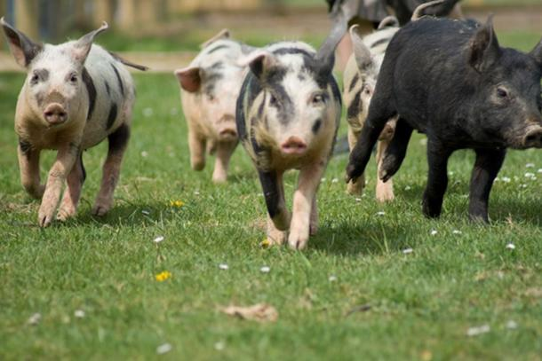 Los cerdos no son los animales más fáciles de mover grandes distancias. (levo / Adobe Stock)