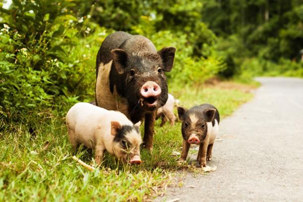 Los cerdos se movían grandes distancias, incluso de Escocia a Stonehenge en el sur de Inglaterra. (Imagen: elecstasy / Adobe Stock)