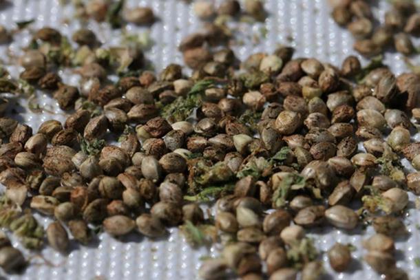 Los denisovans pudieron haber transportado semillas de cannabis. (CC BY-NC-SA 2.0)