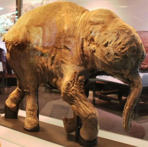 Lyuba, un mamut lanudo momificado en Chicago. Investigadores estadounidenses están estudiando para devolver la vida a los mamuts. (Chiswick Chap / CC BY-SA 2.0)