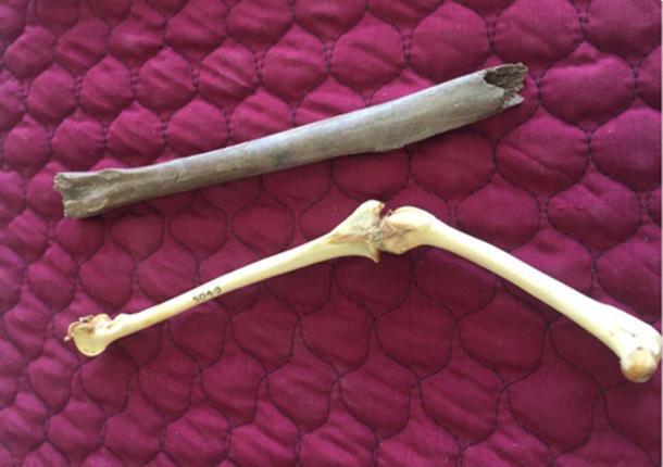 Hueso de la pierna fósil principal de Heracles, arriba, con huesos de pierna de kakapo (fémur parcial y tibiotarsus) en el Laboratorio de Paleontología de Flinders. (Universidad de Flinders)