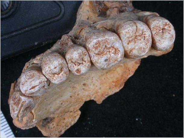 El maxilar (mandíbula superior) de 177,000 a 194,000 años de edad del homínido Misliya-1 (Israel Hershkovitz, Universidad de Tel Aviv)