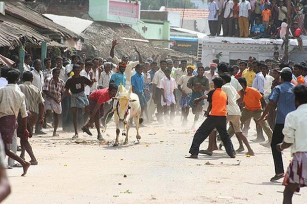 Hombres tratando de atrapar al toro durante un festival de Pongal. (Sandhanapandian / CC BY-SA 4.0)
