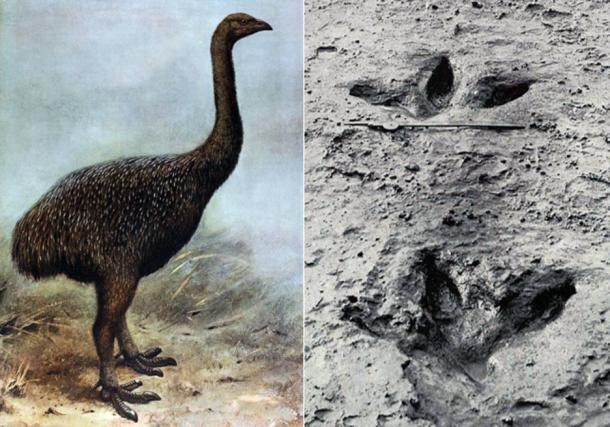Izquierda: Ilustración de un Moa. Derecha: huella preservada de un Moa (Wikimedia Common)
