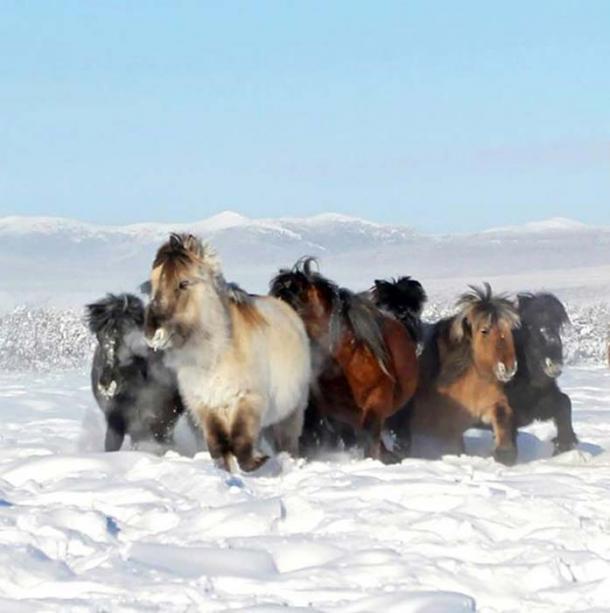 Caballos Yakut de la actualidad, Malolyajovskiy mamut encontrado en 2013. Fotos: Los tiempos de Siberia, NEFU