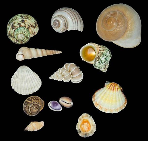 Las conchas de moluscos se comercializaron a lo largo y ancho, incluso en áreas que estaban lejos de la costa del Golfo. (Dr. Zachi Evenor / CC BY 3.0)