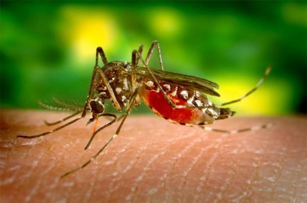 El mosquito de la fiebre amarilla, Aedes aegypti, ama tu sangre y está expandiendo su territorio durante todo el año más y más al norte a medida que se intensifica el calentamiento global. (James Gathany / Dominio público)