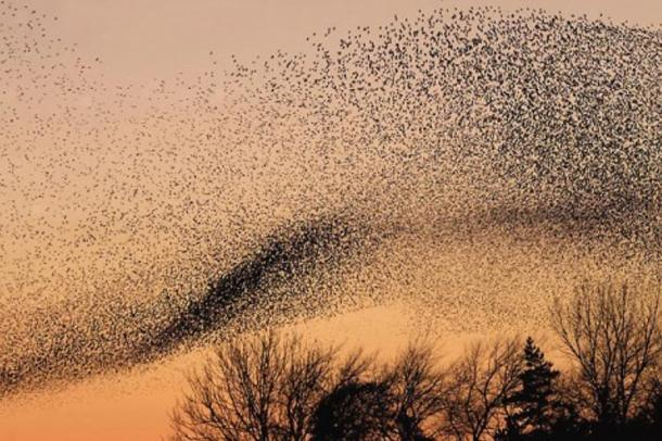 Un murmullo de estorninos. (Walter Baxter / Wikimedia Commons)
