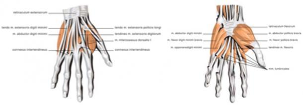 Músculos de la mano humana adulta. (u_irwan / Adobe Stock)