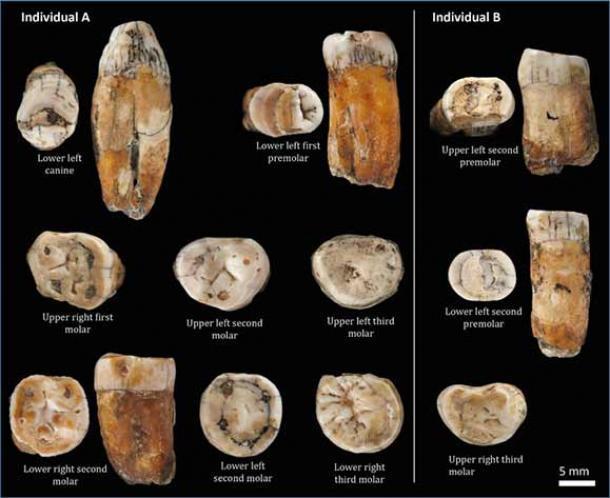 Una selección de los dientes de neandertal descubiertos en La Cotte de St. Brelade en Jersey. (Patronos del Museo de Historia Natural)