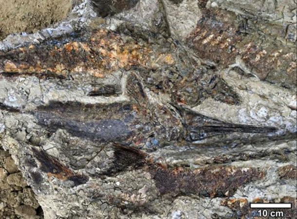 Peces fosilizados apilados uno encima de otro cuando fueron arrojados a tierra por el seiche, en el sitio de fósiles de impacto de meteoros de 66 millones de años. (Robert DePalma / La Universidad de Kansas)