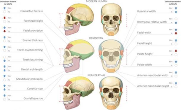 Perfil reconstruido del cráneo de Denisovan. (Gokhman et al.)