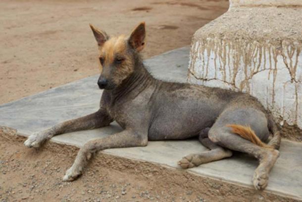 Perro sin pelo peruano. (JeremyRichards / Adobe Stock)