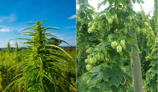 Izquierda; planta de cannabis, derecha; Planta de lúpulo. Ambos son parte de la misma familia de plantas con flores (Cannabaceae). Soucre: (Dmytro Sukharevskyi /Adobe; CC BY-SA 2.0)
