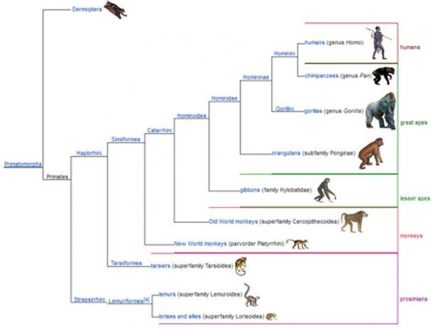 Árbol genealógico de primate. (CC BY SA 3.0)