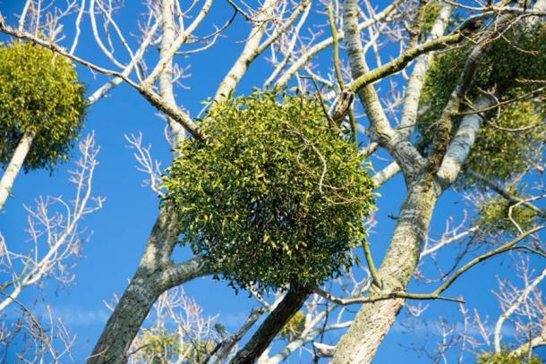 Muérdago unido a las ramas de un árbol. Crédito: unicusx/ Adobe Stock