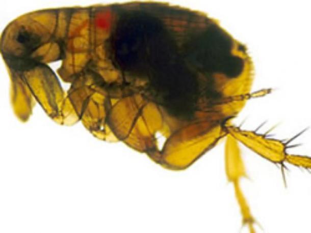 Pulga de rata oriental infectada con la bacteria Yersinia pestis que aparece como una masa oscura en el intestino. (7mike5000 / Dominio público)