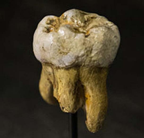 Réplica de un molar denisovano, originalmente encontrado en la cueva Denisova. (Thilo Parg / CC BY-SA 3.0)