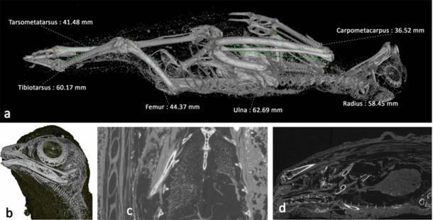Escaneos del ave momificada, probablemente un cernícalo salvaje. (Nature)