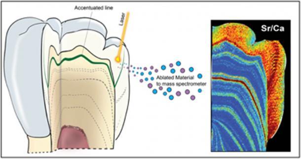Diagrama esquemático del uso del análisis de ablación con láser para mapear la concentración de estroncio y uranio dentro de un diente. (Renaud Joannes-Boyau, Uso Justo)