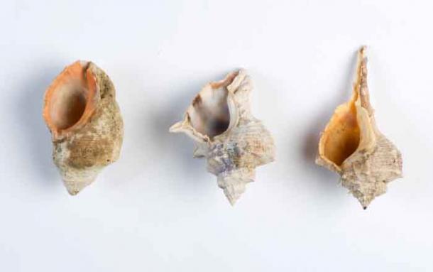 Conchas de las tres especies de caracoles murex. De izquierda a derecha: S. haemastoma, H. trunculus y B. brandaris (Foto de Shahar Cohen / PLOS ONE).
