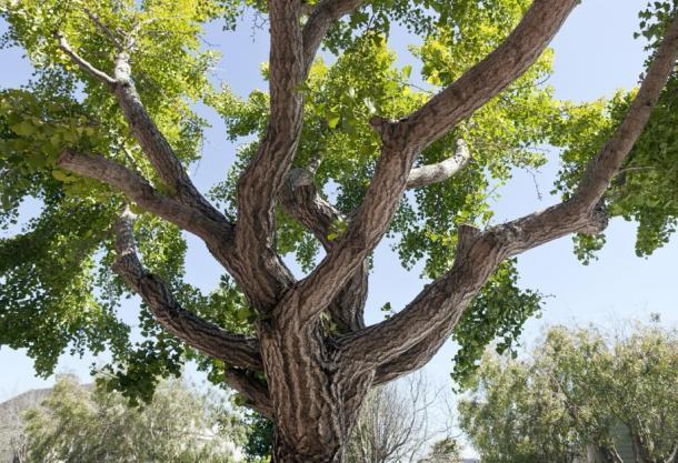 Disparo de un árbol de ginkgo. (Noel / Adobe stock)
