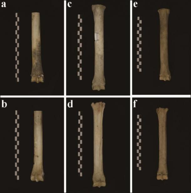 Diferentes tomas del húmero del burro. (S. Hu / Antiquity Publications Ltd)