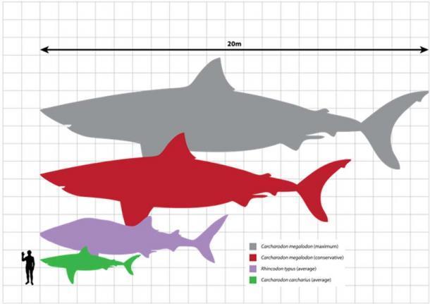 Comparación de tamaño de Carcharodon carcharias (Gran tiburón blanco, 5,2 m (17,1 pies)), Rhincodon typus (Tiburón ballena, 9,7 m (31,8 pies)) y estimaciones conservadoras / máximas del tamaño adulto más grande conocido de Carcharodon megalodon (15- 20 m (49,2-65,6 pies)), con un humano (1,8 m (5,9 pies)). (Scarlet23 / CC BY SA 3.0)
