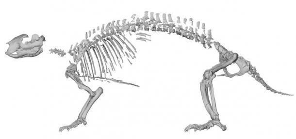 """Reconstrucción esquelética de Adalatherium hui (""""bestia loca""""). Vista lateral basada en tomografías computarizadas de elementos individuales. (Simone Hoffmann / Nature)"""