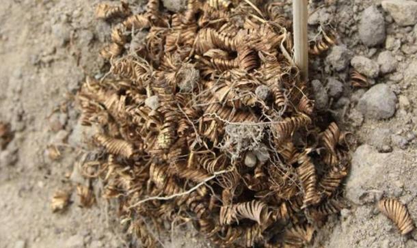 Los hilos planos y dorados en espiral encontrados en el suelo de Selandia, Dinamarca - punto donde se realizaban rituales en la Edad de Bronce.
