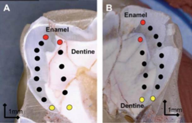 Razón isotópica de estroncio a lo largo del eje de crecimiento de un diente Australopithecus africanus. (Renaud Joannes-Boyau, Uso Justo)