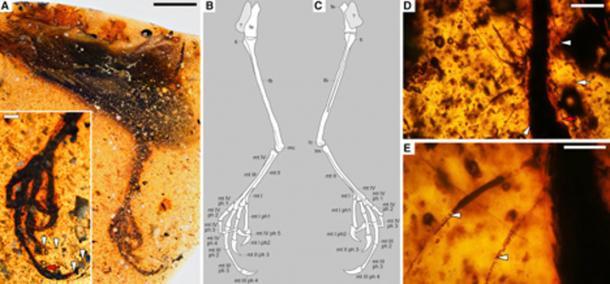 Estructura tarsal y estructuras instrumentales conservadas en Elektorornis chenguangi HPG-15-2. (Lida Xing / Biología Actual)