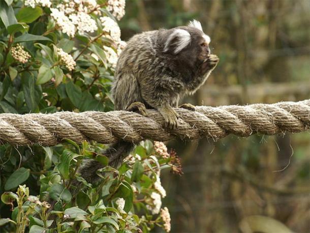 Los monos dientes pertenecían a un antiguo simio de aproximadamente el mismo tamaño que un tití. (Mike Pennington / CC BY SA 2.0)
