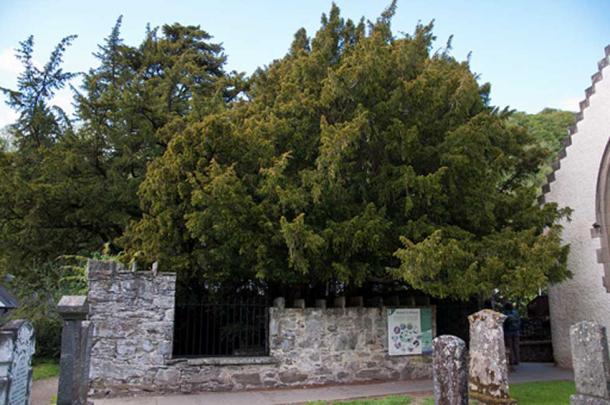 El Fortingall Yew en junio de 2011, comparándolo, se puede ver claramente su caída. (Paul Hermans / CC BY-SA 3.0)