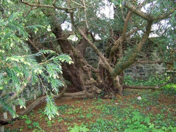 El Fortingall Yew se encuentra en la esquina del cementerio y está rodeado por una pared y barandillas, que están allí para protegerlo. (Maigheach-gheal / CC BY-SA 2.0)