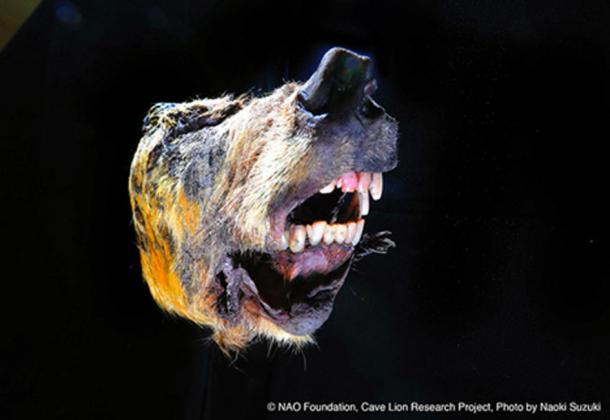 El lobo del Pleistoceno seguía gruñendo después de 40,000 años. (Naoki Suzuki / Uso Justo)