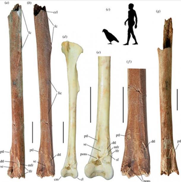 Tibiotarsi de Heracles inexpectatus gen. et sp. nov., izquierda, holotipo (a, b, f) NMNZ S.51083 y derecha, paratipo (g), comparado con (d, e) tibiotarsus izquierdo de Strigops habroptila (Museo de Canterbury Av45277), en cráneo craneal (a) y craneal (b – g) vistas. (c) Siluetas de un humano y Heracles para escala. Las barras de escala son de 20 mm. Abreviaturas: ccl, crista cnemialis lateralis; cl, condylus lateralis; cm, condylus medialis; dtl, cicatriz de inserción distal para ligamento transversal; fc, cresta fibular; lfr, cicatriz lateral para el retináculo peroneo; lic, linea intermuscularis craneal; mfr, cicatriz mediocraneal para el retináculo peroneo; pons, pons supratendineus; ptl, cicatriz de inserción proximal para ligamento transversal; se, sulcus extensorius; sf, sulcus m. peroné trf, tuberculo retináculo m. peroné Silueta humana de PhyloPic por T. M. Keesey.