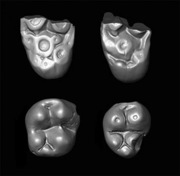 Pequeños dientes molares del paracaidécido mono Ucayalipithecus del Oligoceno del Perú. (Erik Seiffert)