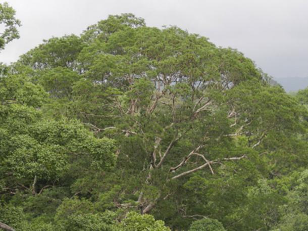 Parte superior del árbol de una Dinizia excelsa. (CINBESA)