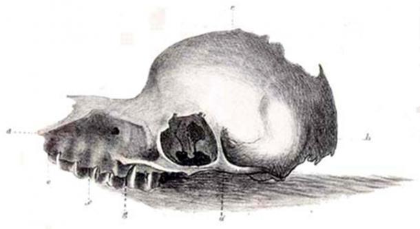 Un dibujo de 1847 de un cráneo de la extinta criatura Bunyip, reproducido de The Tasmanian Journal of Natural Science. (Dominio publico)